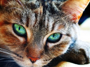 Cats Eye Phenomena-Chatoyancy in Action in Nature!