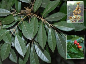 priyangu plant